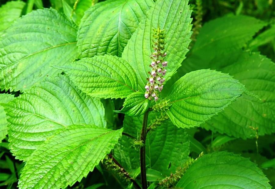 Allergiás bőrtünetek enyhítése - egy hagyományos távol-keleti gyógynövény, a perilla